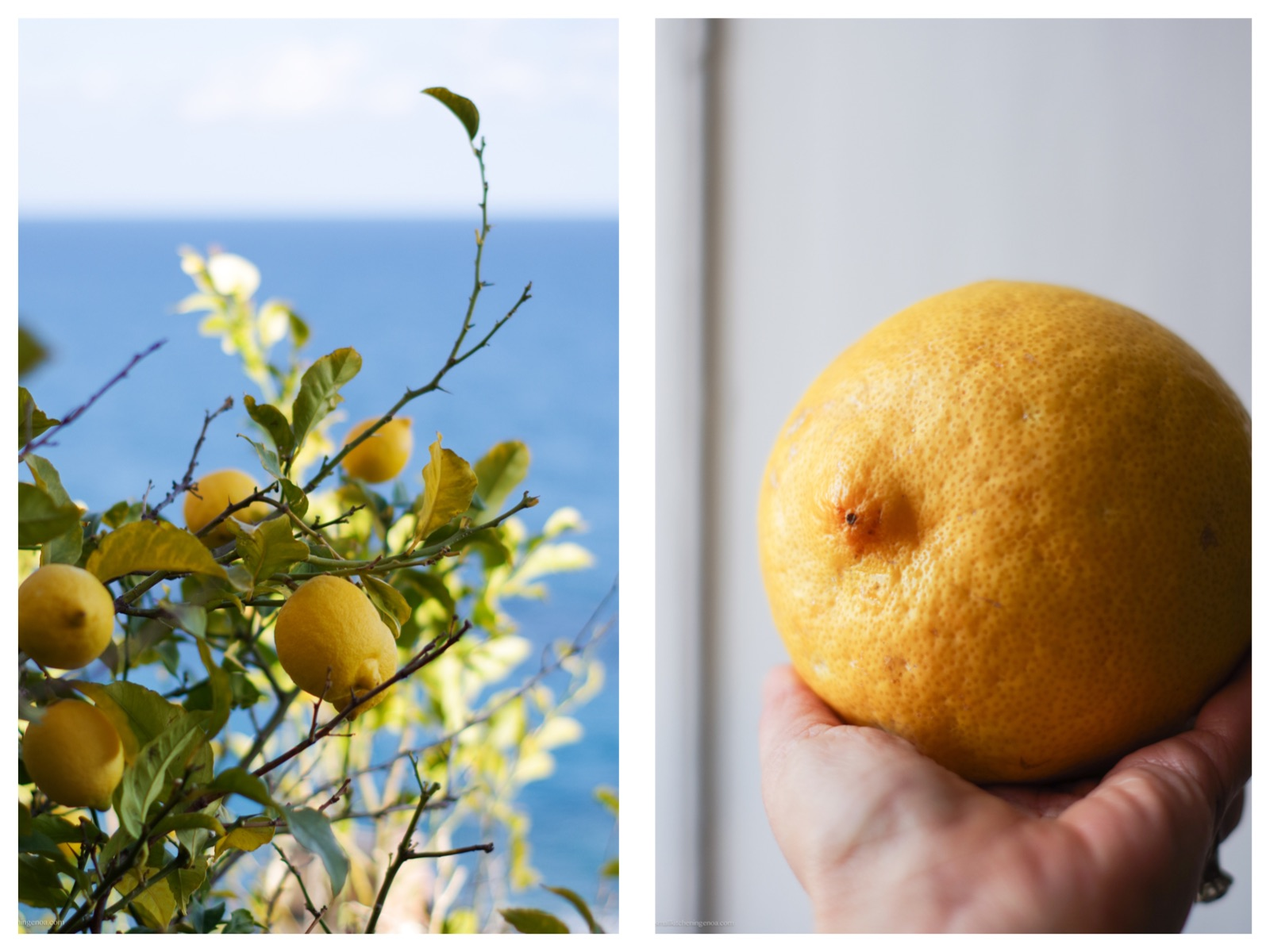 Lemons of the Italian Riviera: let's make a limoncello!