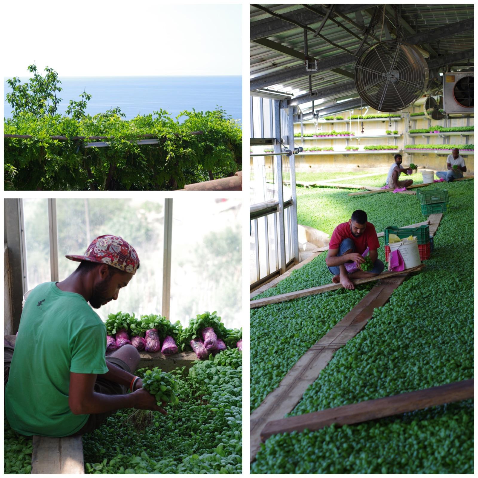 pesto sauce: pesto plantation at Calgagno Paolo