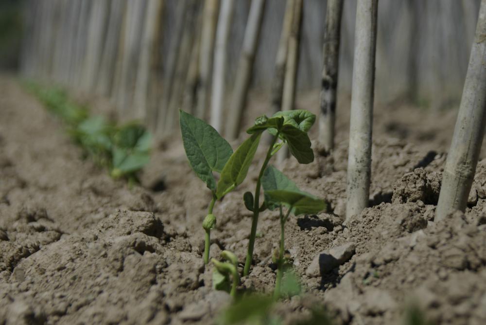 Pigna beans small plant