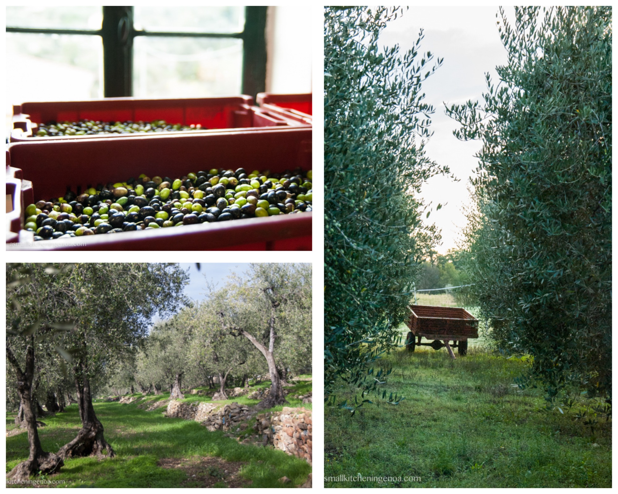 Italian Riviera food experiences: olive harvesting, oil tasting and visit to an oil mill