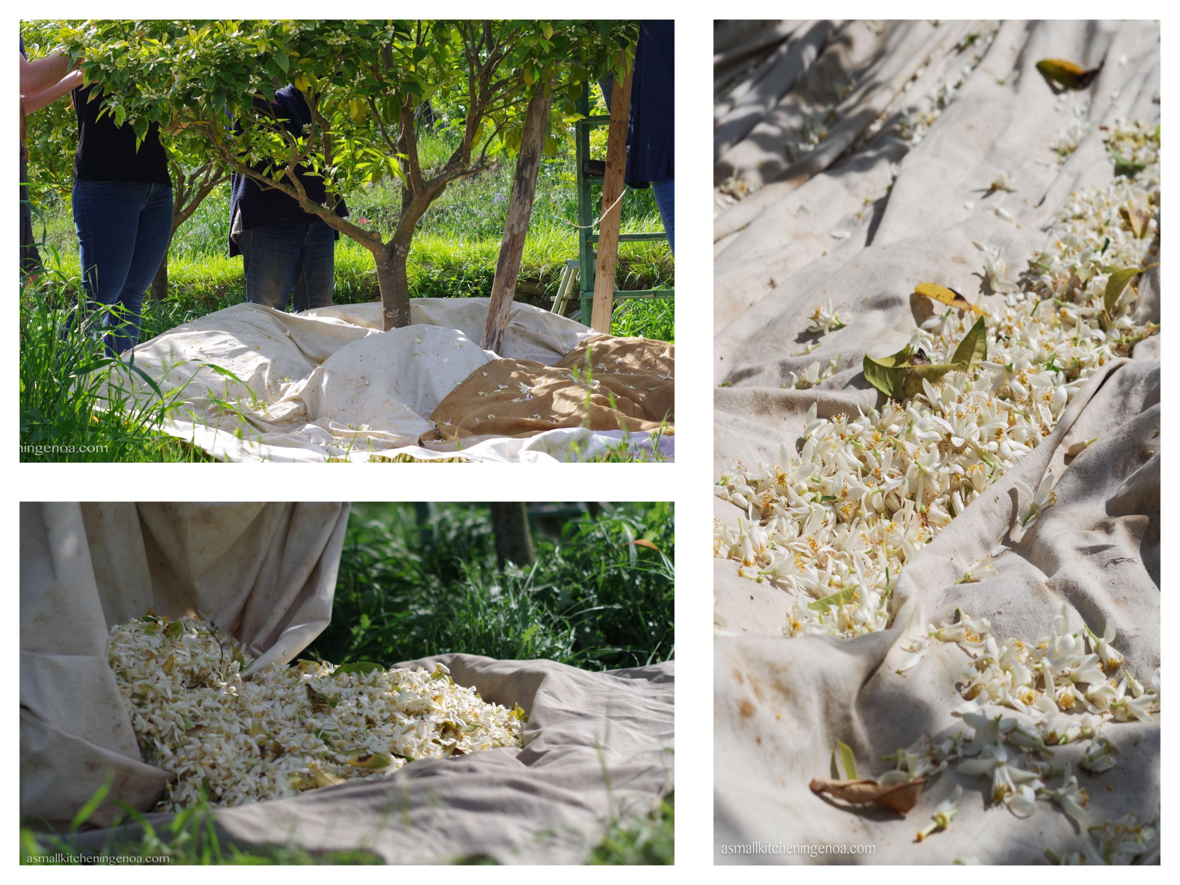raccolta dei fiori di arancio amaro a Vallebona
