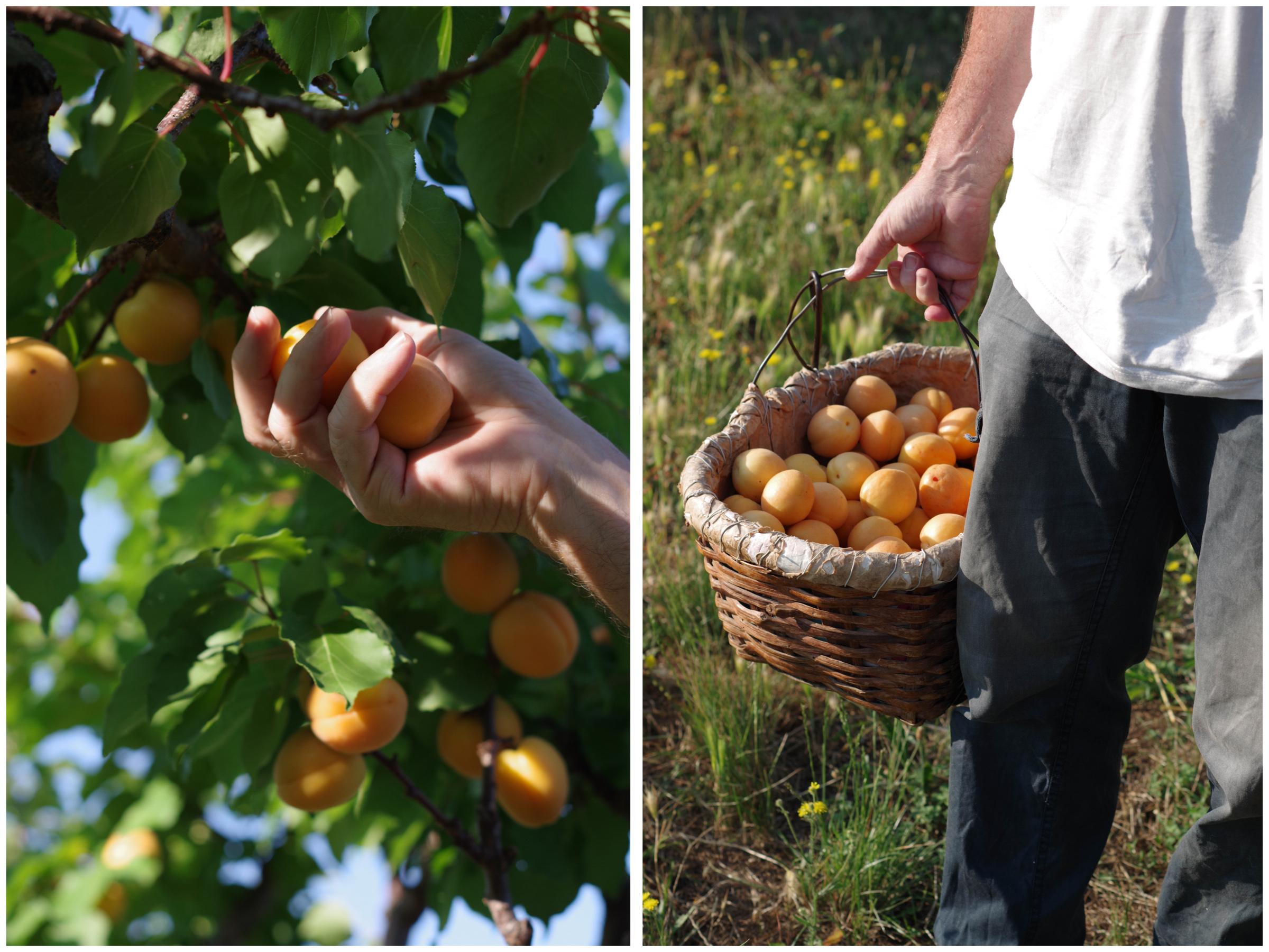 Valleggia apricots