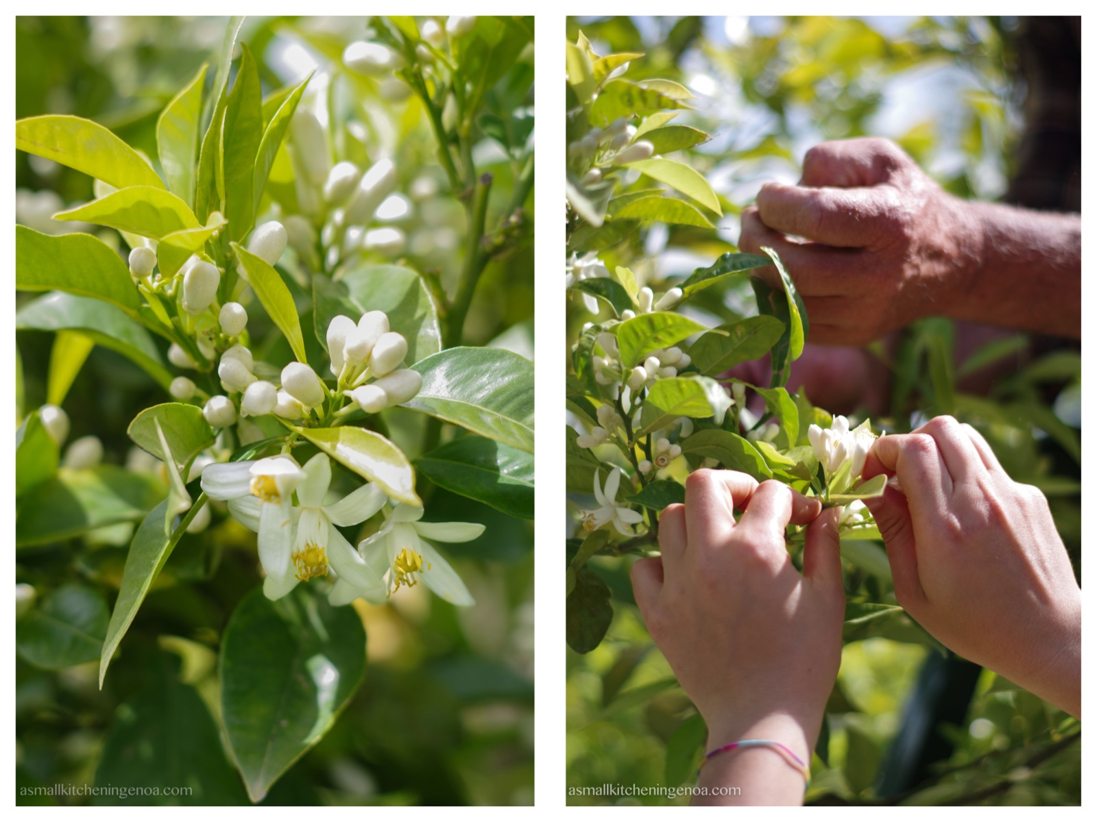 harvesting bitter orange blossoms for distilling water