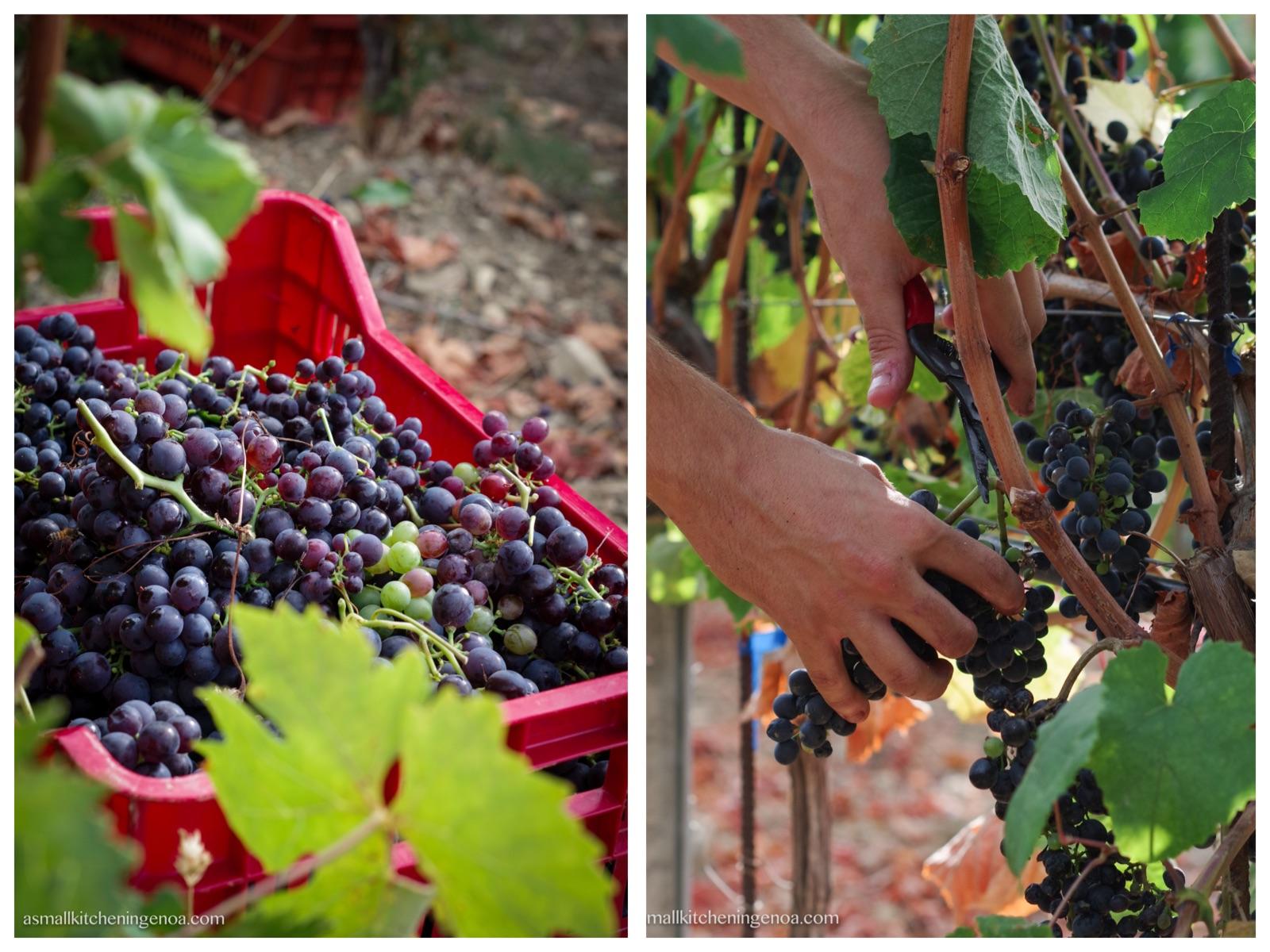 Italian Riviera wines and grapevine varieties