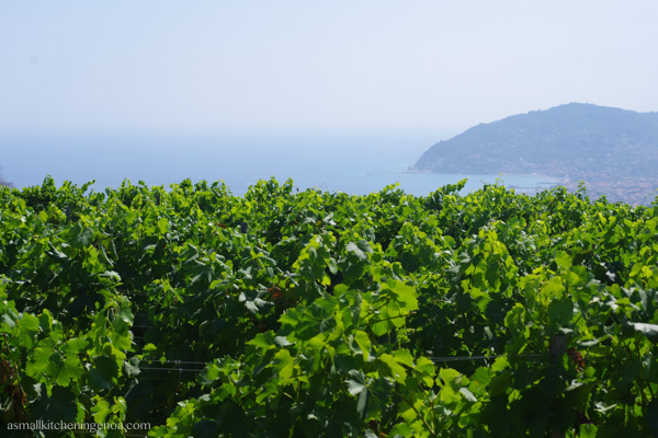 Let's discover Italian Riviera wines and grapevine varieties