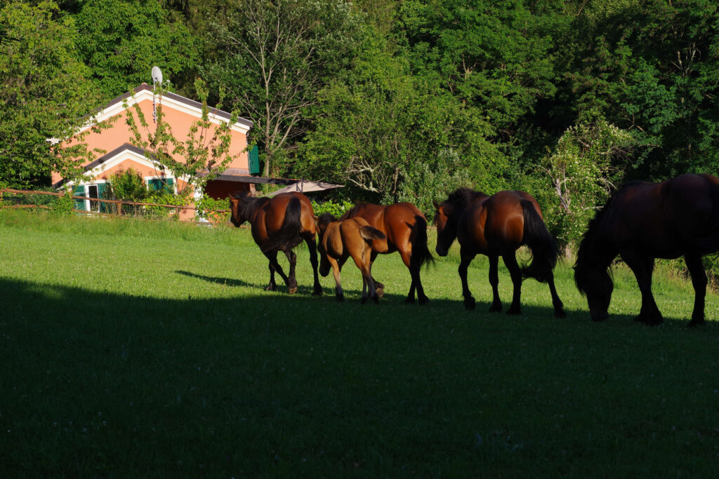 Wild horses in Val d'Aveto